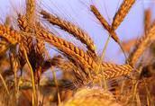 Skup zbóż-płątność po załadunku