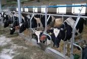 Skup bydła najlepsze ceny tylko gotówka