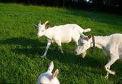 kozy mleczne