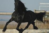 Śliczne czarne konie fryzyjskie Mężczyzna jest dostępna 3