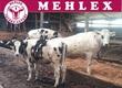 Jałówki Firma Mehlex.pl proponuje Państwu
