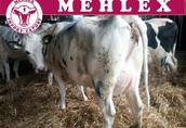 Niemieckie wysokowydajne Krowy Pierwiastki 100% HO (HF)