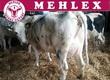 Krowy Firma Mehlex.pl proponuje Państwu