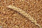 Całoroczny skup zbóż-płatność po załadunku