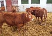 Sprzedam byczki mięsne odsadki 30 szt
