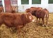 Cielaki i opasy Sprzedam 30 sztuk byczków odsadk