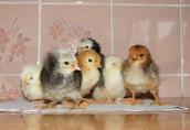 Kurczęta Lenghorn, Dominat, Rosa