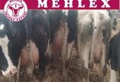 Niemieckie krowy mleczne HF HO LIKWIDACJA STADA
