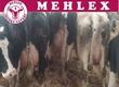 Krowy Proponujemy Państwu wybór najlepszych