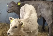 Sprzedaż cieląt, byczki, jałówki, cielęta mięsne, Limousine, Simental