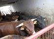 Byki na ubój Na sprzedaż bydło rzeźne 14 sztuk