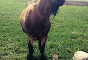 Sprzedam kozę 1