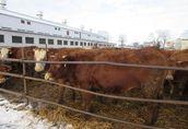 Sorzedam krowy i jałówki  1