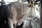 Byki na ubój Witam, Posiadam do sprzedania byki mięsne rasy...