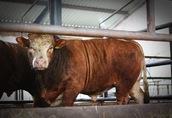 skup żywca byki jałówki krowy