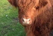 Krowa szkocka zacielona i młody byczek