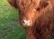 Krowy Do sprzedania krowa szkocka zacielona