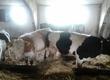 Cielaki i opasy Sprzedam dwa mięsne byki (HO i