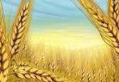 Całoroczny skup zbóż-zapraszam