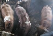 byki mięsne 25 sztuk waga 700+ woj. mazowieckie