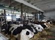 Krowy Sprzedam stado krów mlecznych HF