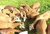 Owce Kameruńskie  1