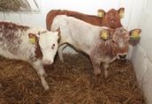 Sprzedaż cieląt ras mięsnych mieszanych i HF
