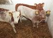 Cielaki i opasy zakłady mięsne bm kobylin zapraszaj