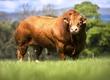 Byki rozpłodowe Sprzedamy buhaje hodowlane mięsne