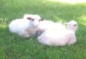 jagnięta owieczki i baranki