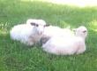 Owce Młode jagnięta .Mają od -5 miesi