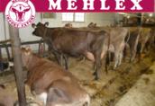 Krowy mleczne Jersey - Dania