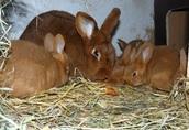 Sprzedam króliki nowozelandzkie czerwone