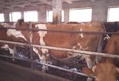 Sprzedam krowy i jałówki mięsne cielne 1