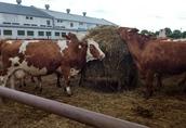 Sprzedam krowy i jałówki mięsne cielne 2