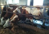 Sprzedam krowy i jałówki mięsne cielne 5