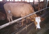 Sprzedam krowy i jałówki mięsne cielne 6