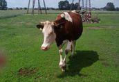 Sprzedam krowę na ocieleniu hf/montbeliard lub jałówkę HF