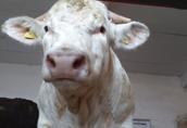 skup żywca : byki, krowy, jałówki