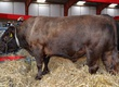 Byki na ubój Skup bydła: Organizujemy objazdowy