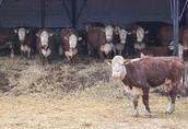 Skup bydła  najlepsze ceny tylko gotówka 1