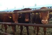 Sprzedam byczki mięsne odsadki
