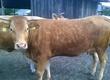 Pozostałe zwierzęta hodowlane sprzedam krowy pierwiastki ( po