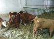 Cielaki i opasy Sprzedam cieleta mięsne pochodzenia
