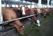 Sprzedam jałówki i krowy mięsne cielne