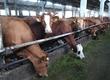 Krowy Sprzedam 30 sztuk krów i 50 sztuk