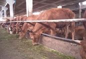 Sprzedam jałówki i krowy mięsne cielne 1