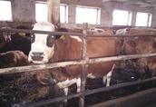 Sprzedam jałówki i krowy mięsne cielne 2