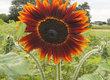 Słonecznik Sprzedam kwiaty słonecznika Sunspot