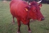 Krowa Limousine LM wysokocielna. Cena do negocjacji!